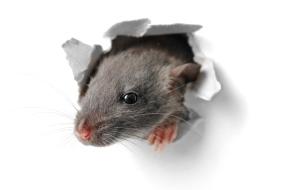 Sådan sikrer du dit hus mod rotter